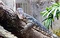 Varano acuático (Varanus salvator), Zoo de Ciudad Ho Chi Minh, Vietnam, 2013-08-14, DD 01.JPG