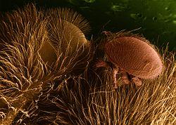Syndrome d'effondrement des colonies d'abeilles (article, photos et vidéo/documentaire) 250px-Varroa_destructor_on_honeybee_host