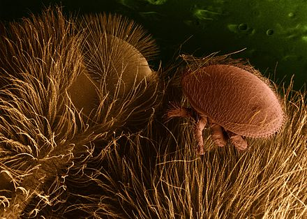 Low-temperature scanning electron micrograph of V. destructor on a honey bee host Varroa destructor on honeybee host.jpg