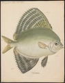 Velifer hypselopterus - 1700-1880 - Print - Iconographia Zoologica - Special Collections University of Amsterdam - UBA01 IZ13100303.tif