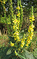 Verbascum nigrum 02.jpg