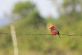 Vermillion Flycatcher (5295140525).jpg