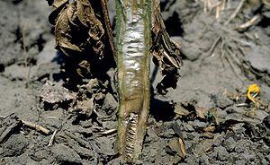 Verticillium - Verticillium dahliae infecting sunflower