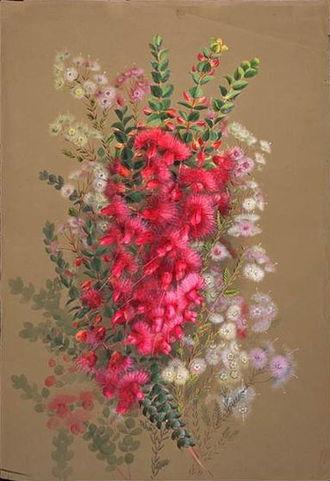 Verticordia - Painting by Ellis Rowan; V. grandis, V. huegelii, V. brachypoda