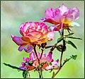 Very Pink Roses (234383495).jpeg
