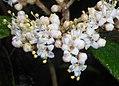 Viburnum rhytidophyllum 2016-05-17 0798b.jpg