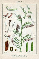 Vika huňatá (Vicia villosa)