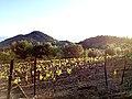 Vignoble de Mourchon AOC Séguret.jpg