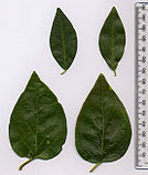 Vinca major-minor leaves.jpg