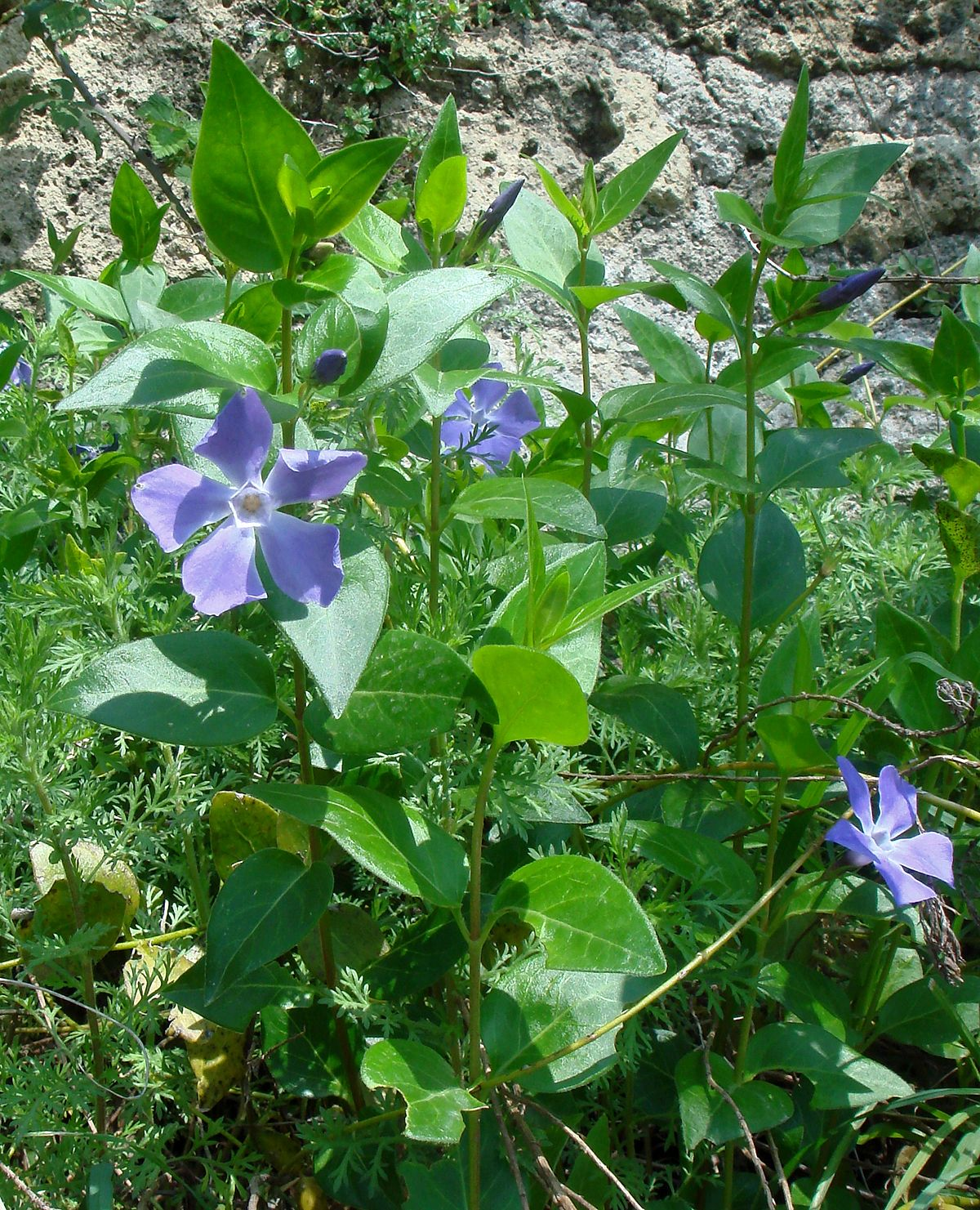Vinca major wikispecies for Vinca major