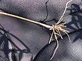 Vincetoxicum rossicum SCA-05247.jpg