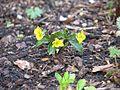 Viola brevistipulata hidakana - Flickr - peganum.jpg