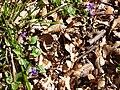 Violettes printanières.jpg