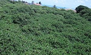Maior cajueiro do mundo - View of the world's largest cashew tree.