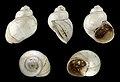 Viviparus dactonensis 01.JPG