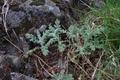 Vogelsberg Schotten Bilstein Summit det Jacobaea vulgaris May E.png