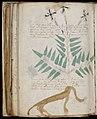 Voynich Manuscript (166).jpg