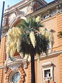 Washingtonia fiorita a villa Berlingieri 1270948.JPG