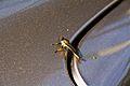 Wasp on Car.jpg