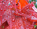 Water droplets on maple leaves.jpg
