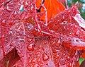 Water droplets on maple leaves.jpg