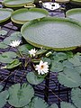 Water lilies at Kew Gardens - geograph.org.uk - 176626.jpg