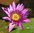 Waterlily - purple (9546426717).jpg