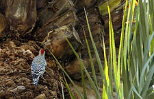 West Indian woodpecker rests on a date palm.jpg