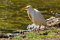Western Cattle Egret (Bulbulcus ibis) by the water.jpg