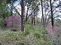Western Redbud (3630718754).jpg