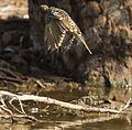 Western bowerbird (7987734370).jpg