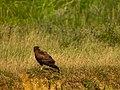 Western marsh harrier-Circus aeruginosus.jpg