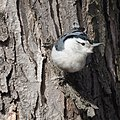 White-breasted Nuthatch (5458724351).jpg