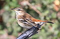 White-browed scrub robin, Cercotrichas leucophrys at Mapungubwe National Park, Limpopo, South Africa (17380203084).jpg