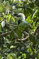 White-crested Hornbill from Canopy Walkway - Kakum NP - Ghana 14 S4E1462 (16017869517).jpg