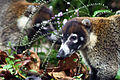 White-nosed coati Arenal.JPG