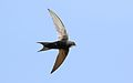 White-rumped swift, Apus caffer, at Suikerbosrand Nature Reserve, Gauteng, South Africa (30511369955).jpg