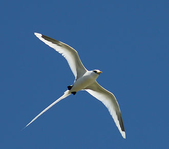 White-tailed tropicbird - White-tailed tropicbird flying by
