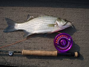 White Bass, Tallapoosa River, Alabama May 28th...