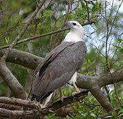 White Bellied Sea Eagle 070531b.jpg