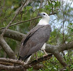 White Bellied Sea Eagle 070531b.jpg