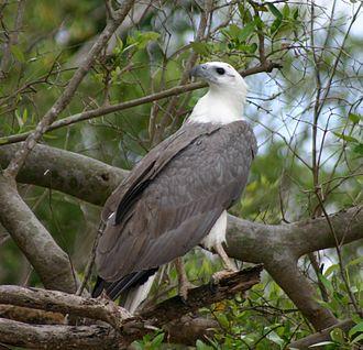 Sea eagle - Image: White Bellied Sea Eagle 070531b
