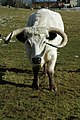 White Park cow - geograph.org.uk - 1728803.jpg