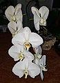 White Phalaenopsis by Don Ramey Logan.jpg