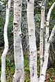 White birch Betula papyrifera (29984709761).jpg