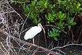White ibis (20463743226).jpg