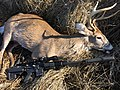 Whitetail Deer 300 BLK Suppressed Specwar 7.62.JPG