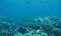 Whitetip Reef Shark (Triaenodon obesus) (6132511879).jpg