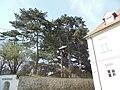 Wiener Naturdenkmal 323 - Libanonzeder (Döbling) e.JPG