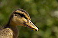 Wild Duck.jpg